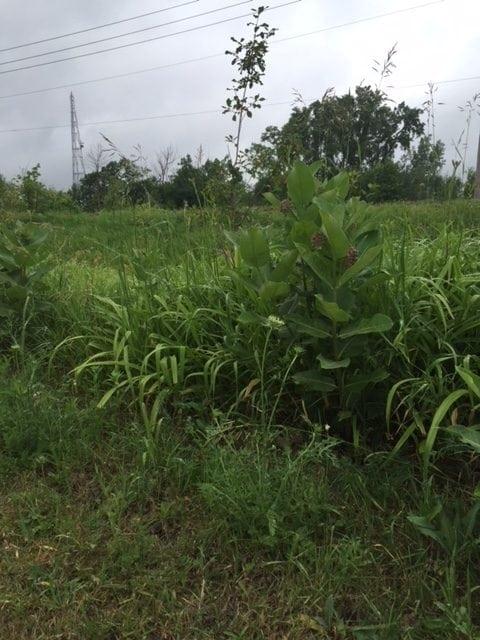 Long grass where ticks can hide